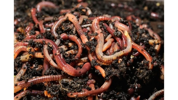 Red wiggler worms for your compost!